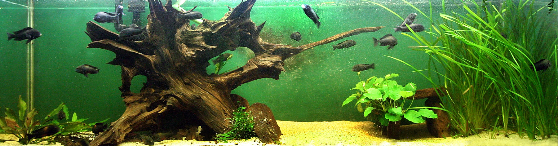 Wood for Fish tank driftwood