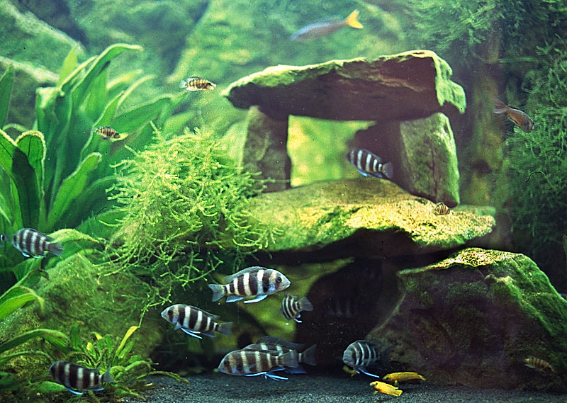 Cichlids Enthusiast Forum Page 1742 Aquarium