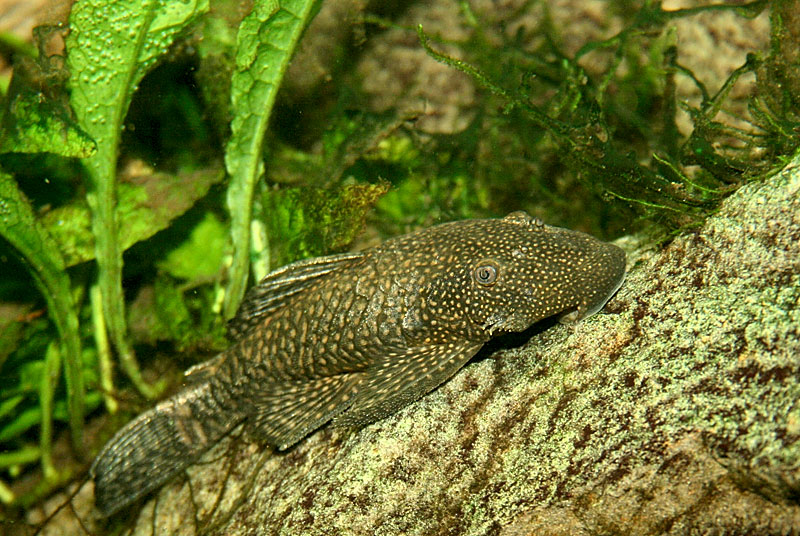 Bristlenose Pleco  : Bristlenose Plecostomus Female bristle nose pleco in