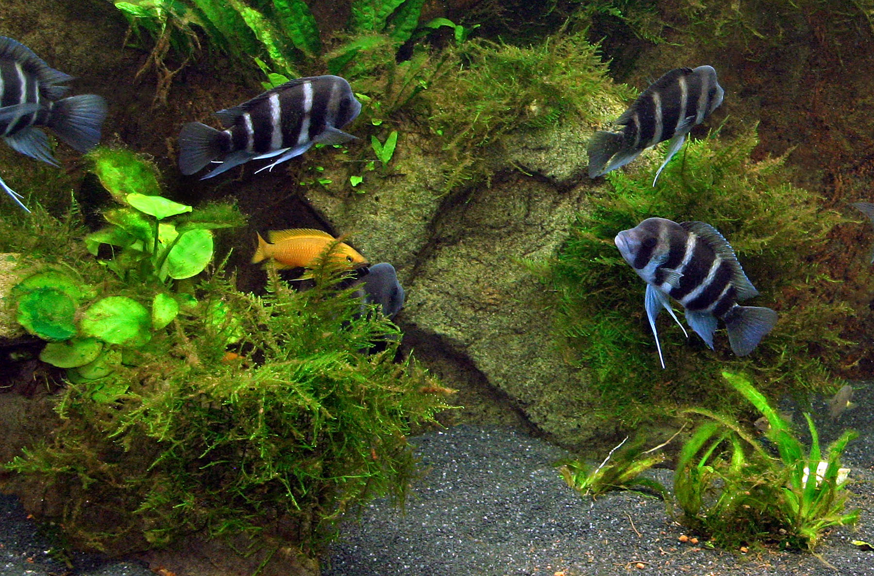 Cichlid Forum How S My Aquascaping 56k Warning
