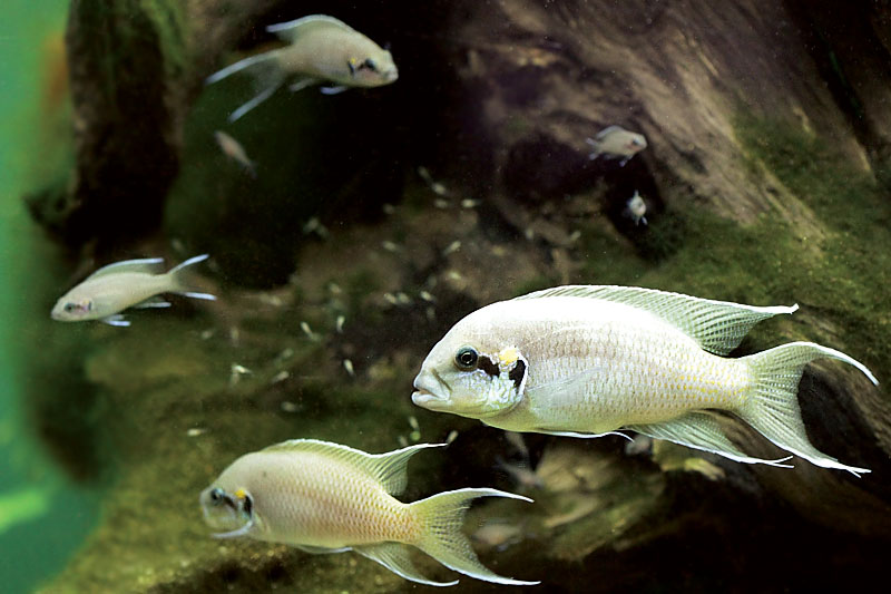 Cichlid-Forum ? Neolamprologus brichardi stocking question - 125 g