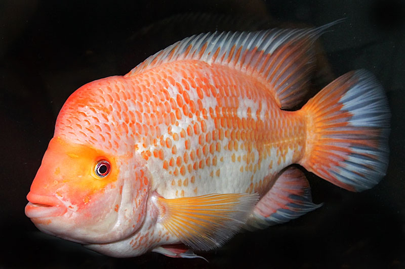 Cichlid forum what final fish should i add to my new 20 for Red devil fish