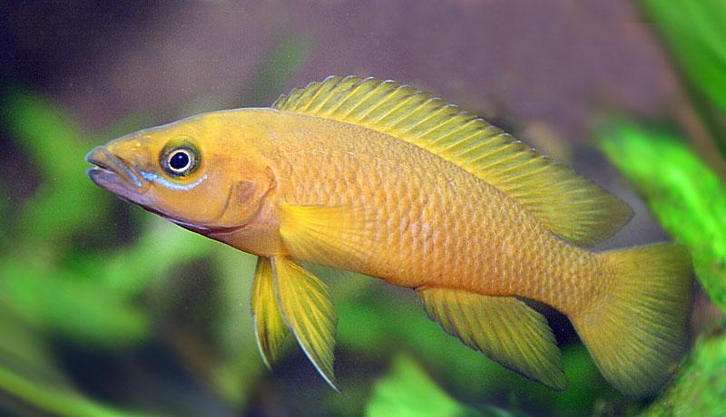 fmueller com » Leleupi (Neolamprologus leleupi)